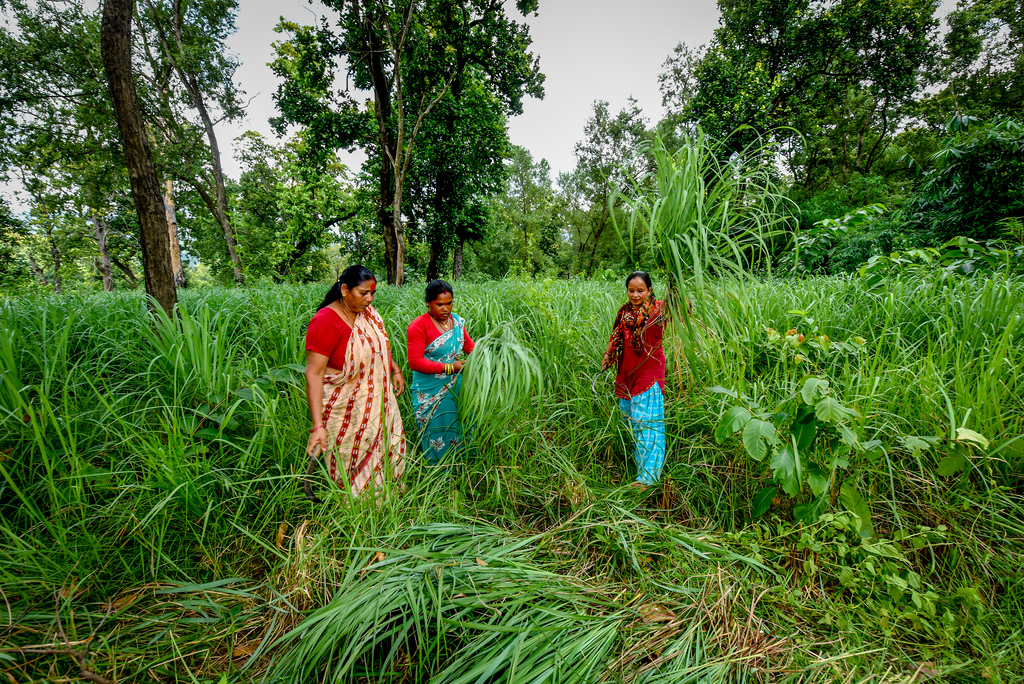 Người Ấn Độ thu hoạch Sả